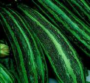 Marrow Long Green Bush 4 - 10 seeds